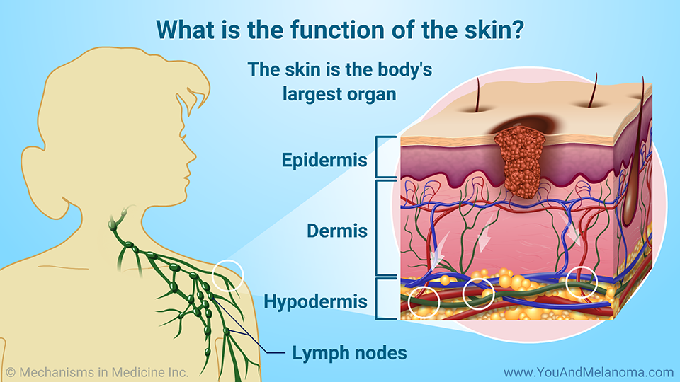 What is the function of the skin?